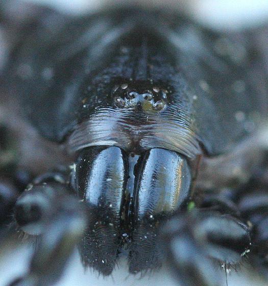 Trapdoor Spider - Ummidia - male