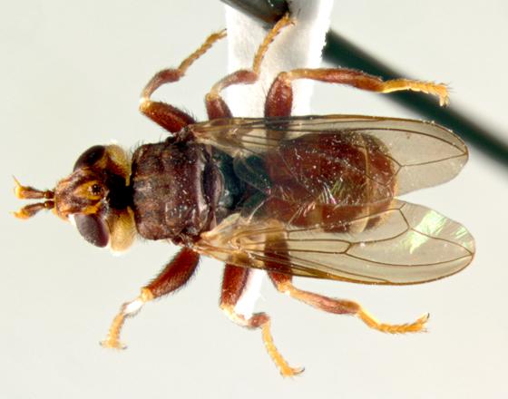 Conopidae, dorsal - Myopa