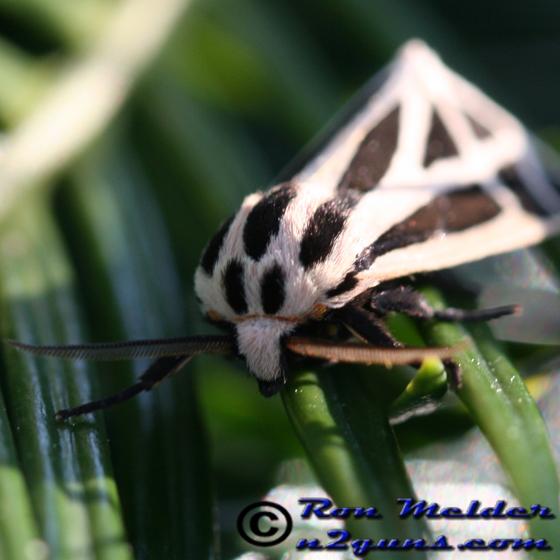Harnessed Tiger Moth - Apantesis phalerata