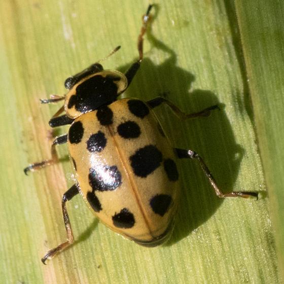 Anisosticta bitrangularis ? - Hippodamia tredecimpunctata