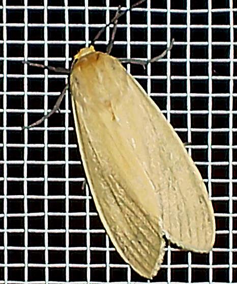yellow moth - Pareuchaetes insulata