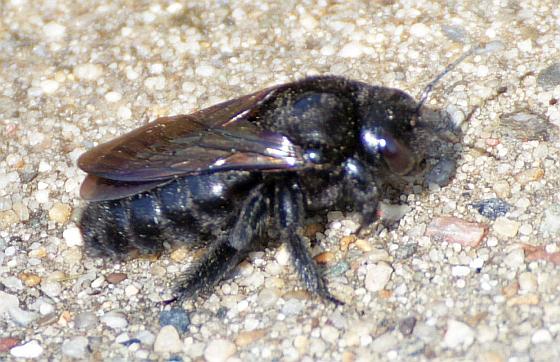 Female Valley Carpenter Bee - Xylocopa varipuncta - female