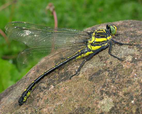 Dragonhunter in New Brunswick - Hagenius brevistylus - male
