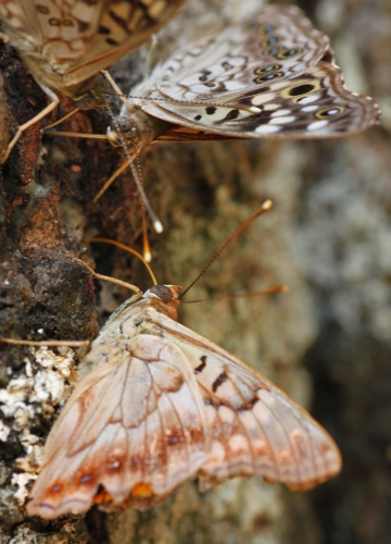 drinking tree sap - Asterocampa