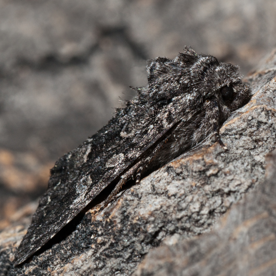 Unknown moth - Papestra