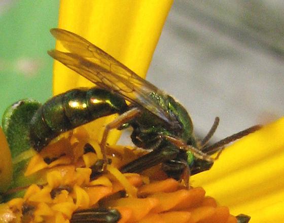 Bee on Asteraceae - Augochlorella - male