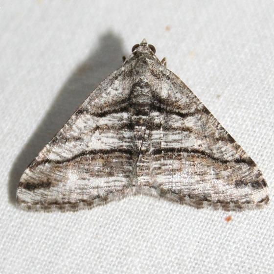 Orillia Angle - Digrammia excurvata