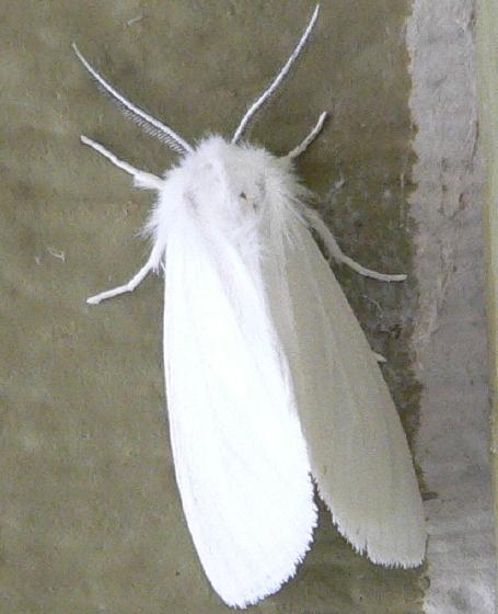 Pink-legged tiger moth - Spilosoma latipennis
