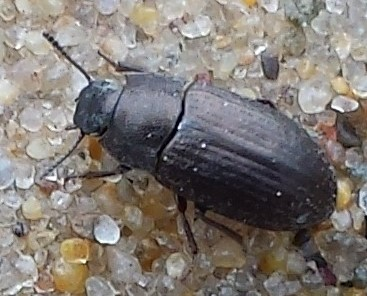Tenebrionidae - Blapstinus metallicus