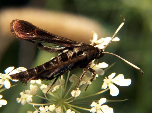 Diurnal Moth - Sesiidae - Albuna fraxini - female