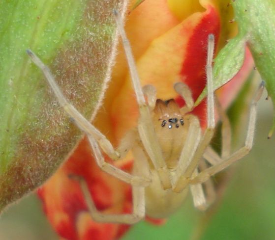 good spider or bad spider ? - Cheiracanthium