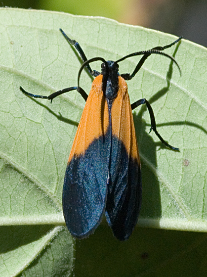 Lycomorpha pholus