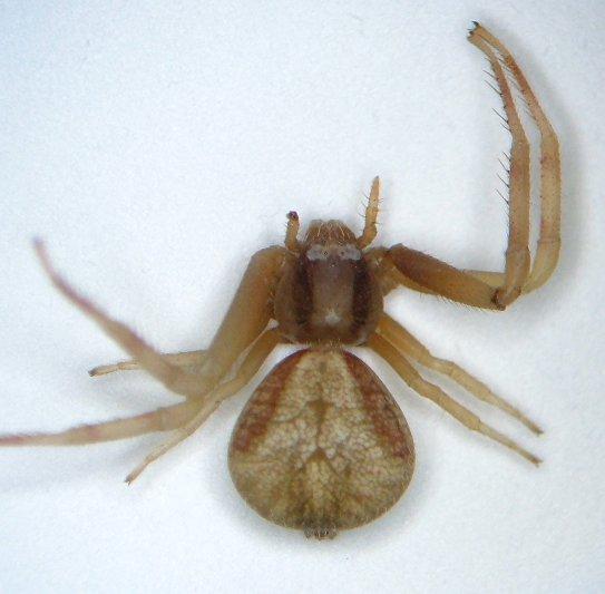 KY spider 05 - Mecaphesa asperata - female
