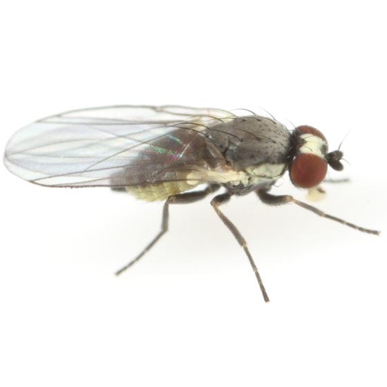 Phytomyza salviarum - female