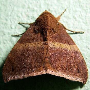 Ophisma tropicalis - Hodges #8722 - Ophisma tropicalis