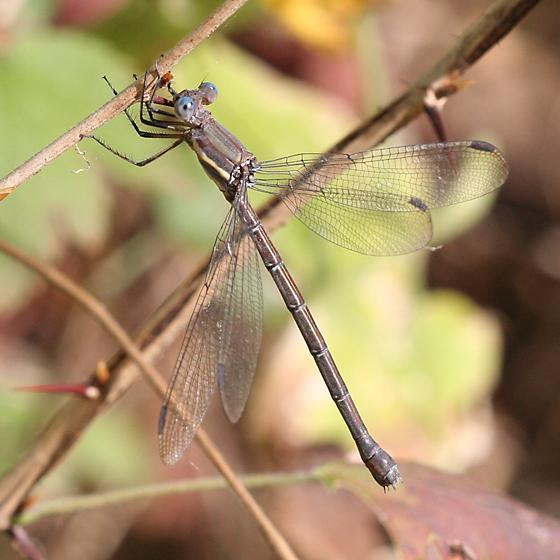 Great Spreadwing - Archilestes grandis - female