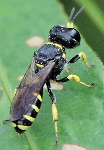 square-headed wasp? - Ectemnius