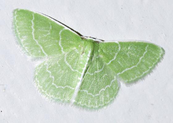 Wavy-lined Emerald - Hodges#7058 (Synchlora aerata) - Synchlora aerata - male