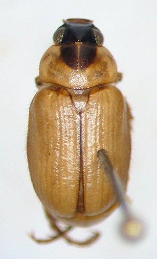 Anomala antennata - female