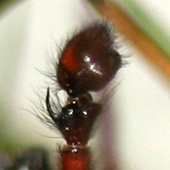 Male pedipalp - Callobius severus - male