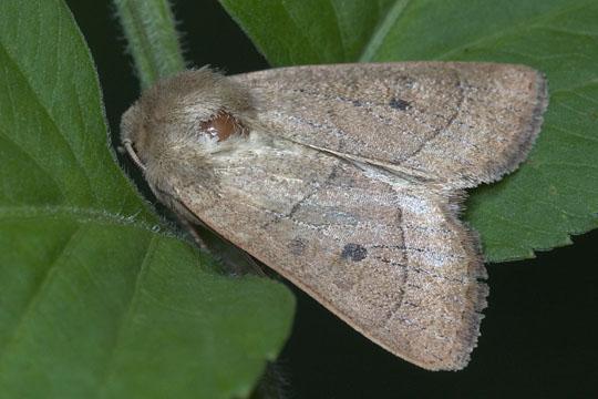 Moth - Ulolonche culea