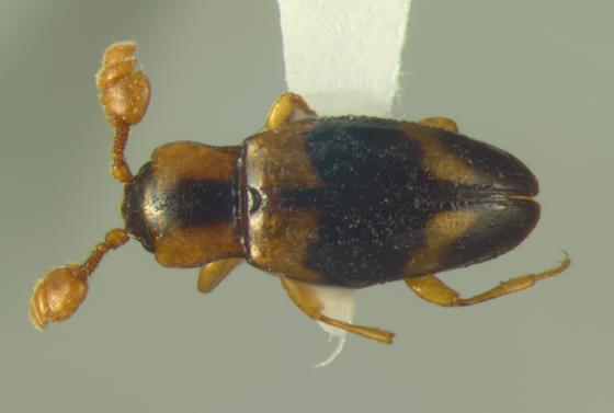 Endomychidae, dorsal - Phymaphora pulchella - male