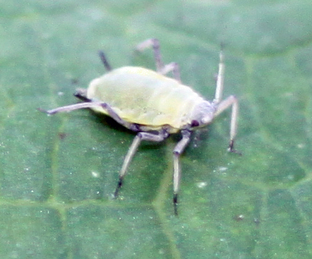 Aphid - Hyadaphis