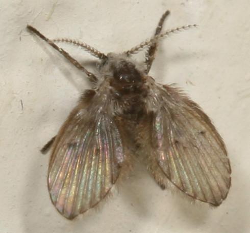 moth fly - Clogmia