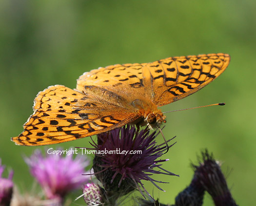 Speyeria - Speyeria cybele - male