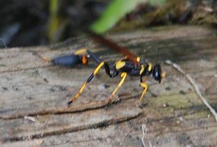 Large wasp - Sceliphron caementarium