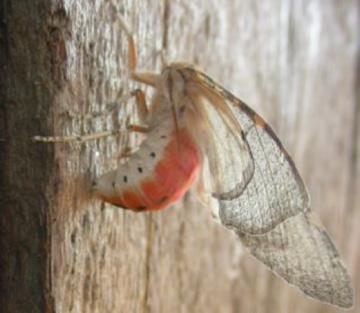 Edwards Glassy-wing Moth - Pseudohemihyalea edwardsii
