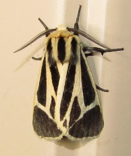 Nais Tiger Moth - Apantesis nais