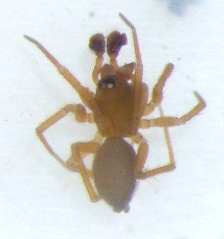 Tiny spider - male