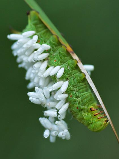 Parasitized Caterpillar