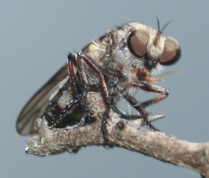 Robber Fly - Holopogon