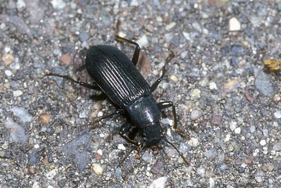 Ground Beetle - Xylopinus saperdoides