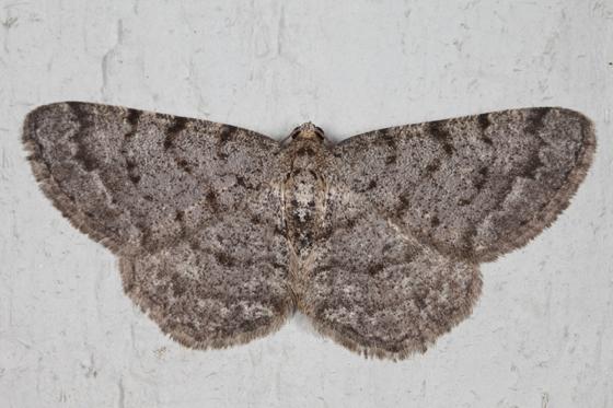 Four-Barred Gray - Aethalura intertexta