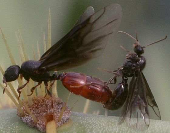 prickly situation - Carebara longii - male - female