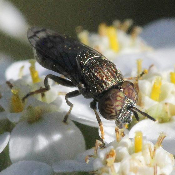 MN Oct - Orthonevra nitida - male
