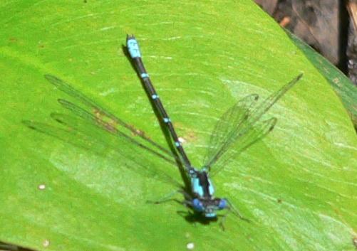 Aurora Damsel - Chromagrion conditum - male