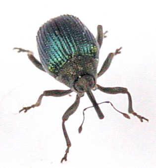 Cuculionidae -? - Ceutorhynchus erysimi