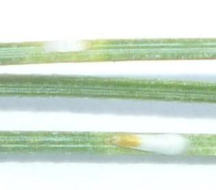 Chionaspis on Pinus strobus - Chionaspis
