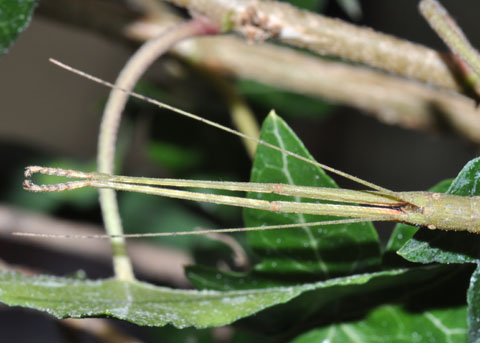 Indian Stick Insect, Carausius morosus  - Carausius morosus