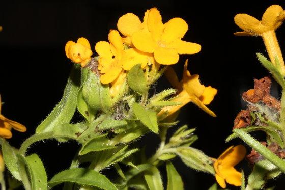 Depressariidae, on Puccoon - Ethmia longimaculella