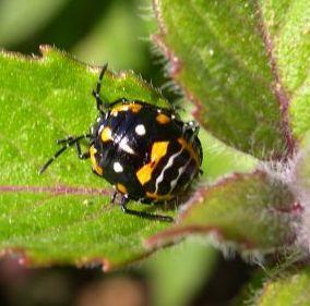 Possible Ladybug - Murgantia histrionica