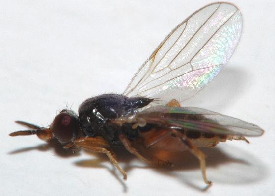 Frit Fly (Chloropidae) - Elachiptera