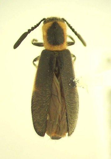 Monophylla terminata - female