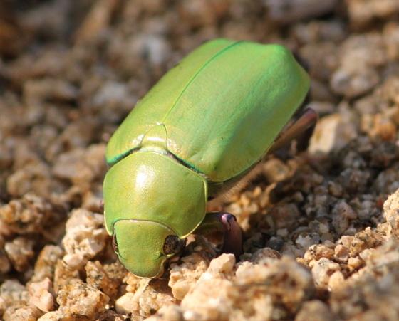 Green and Purple Giant Scarab - Chrysina beyeri