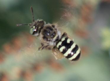 Syrphid - Calliopsis hesperia - female