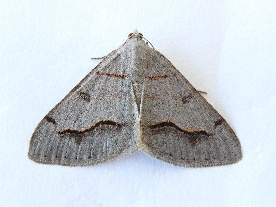 Arizona Moth - Digrammia yavapai